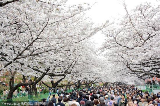 日本东京迎首个赏花周末 赏樱胜地门庭若市
