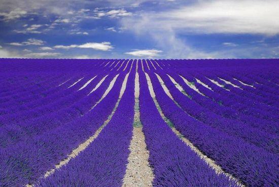 法国普罗旺斯的薰衣草花田