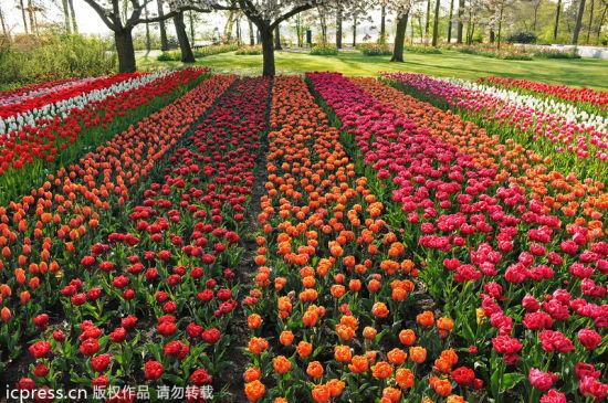 去荷兰库肯霍夫公园寻找最美春天