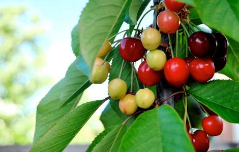 金州樱桃季