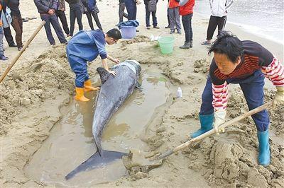 国家二级保护动物灰海豚受伤