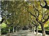 槐树退出行道树