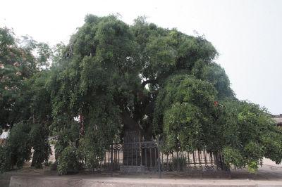 老树两个浓密的树干,分别构成了雌雄双狮