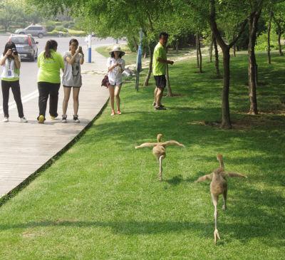 """俩丹顶鹤""""逛""""滨海路 吸引游客围观"""