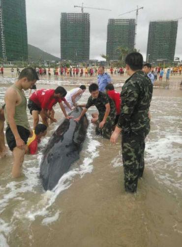 大浪把虎头鲸冲上岸 众人努力将它送回