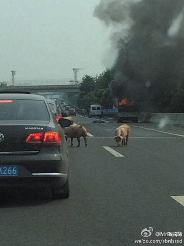 一辆运输生猪的货车突然自燃,车上的小猪纷纷跳车逃生。