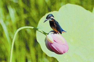 古莲繁育基地成为鸟类的乐园