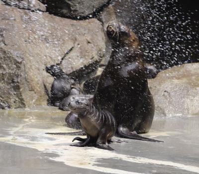 大连老虎滩海洋公园又添9只小海狮