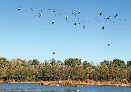 大片湿引来南飞的候鸟歇脚栖息