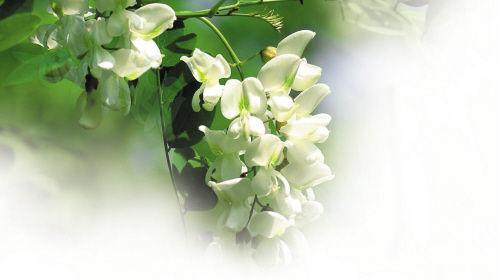 """原来,槐花分为刺槐和国槐,五月开花的为刺槐,因原产北美又称""""洋槐"""""""